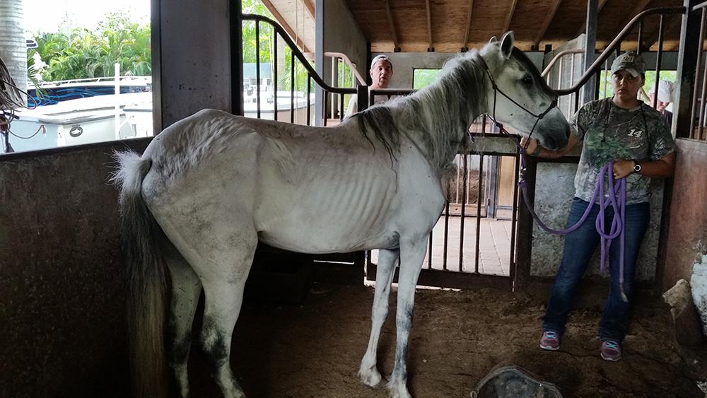 THREE EMACIATED HORSES SEIZED IN ANIMAL CRUELTY CASE