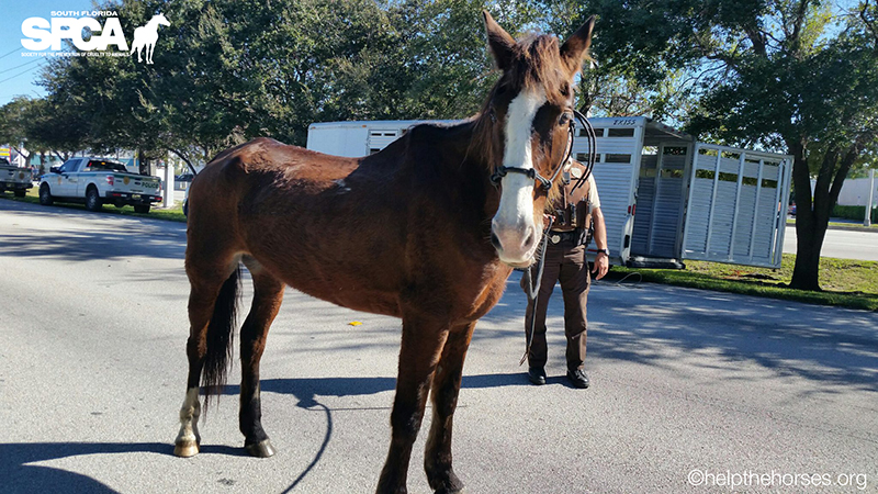 Abused Horse Ridden From South Carolina to Miami Given New Life in Key West