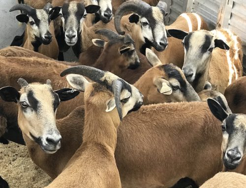 South Florida SPCA Horse Rescue Takes in Record Number of Farm Animals in Neglect Case