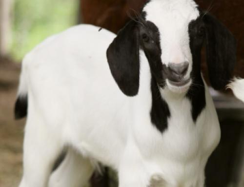 Test Goat