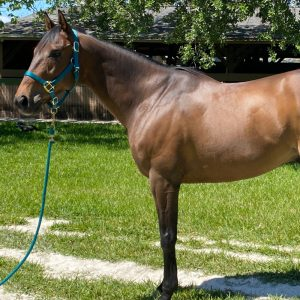 Broadcast Time Thoroughbred Gelding