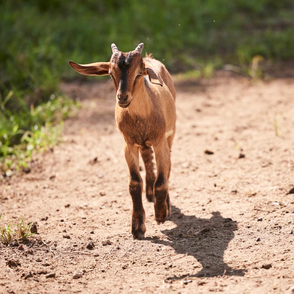 brown Walking Kid Goat