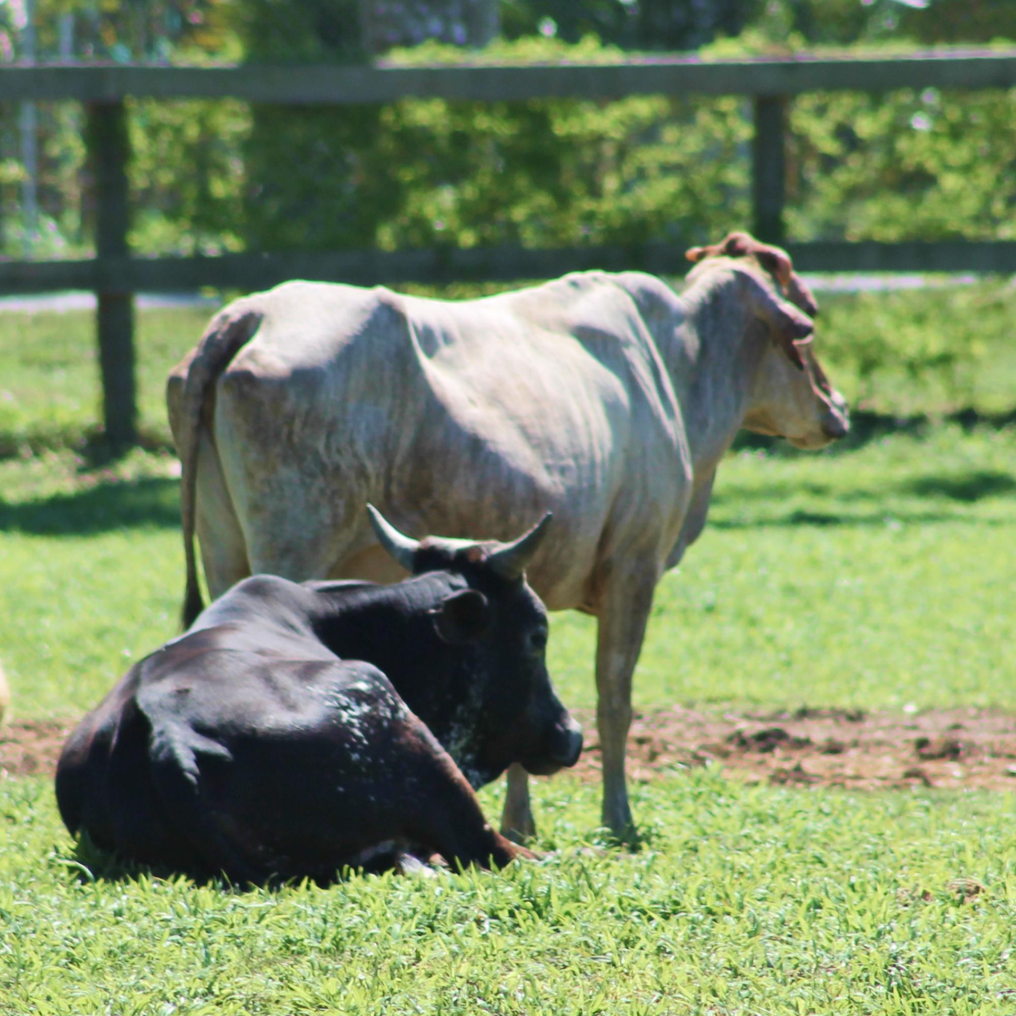 South Florida SPCA rescues livestock cows