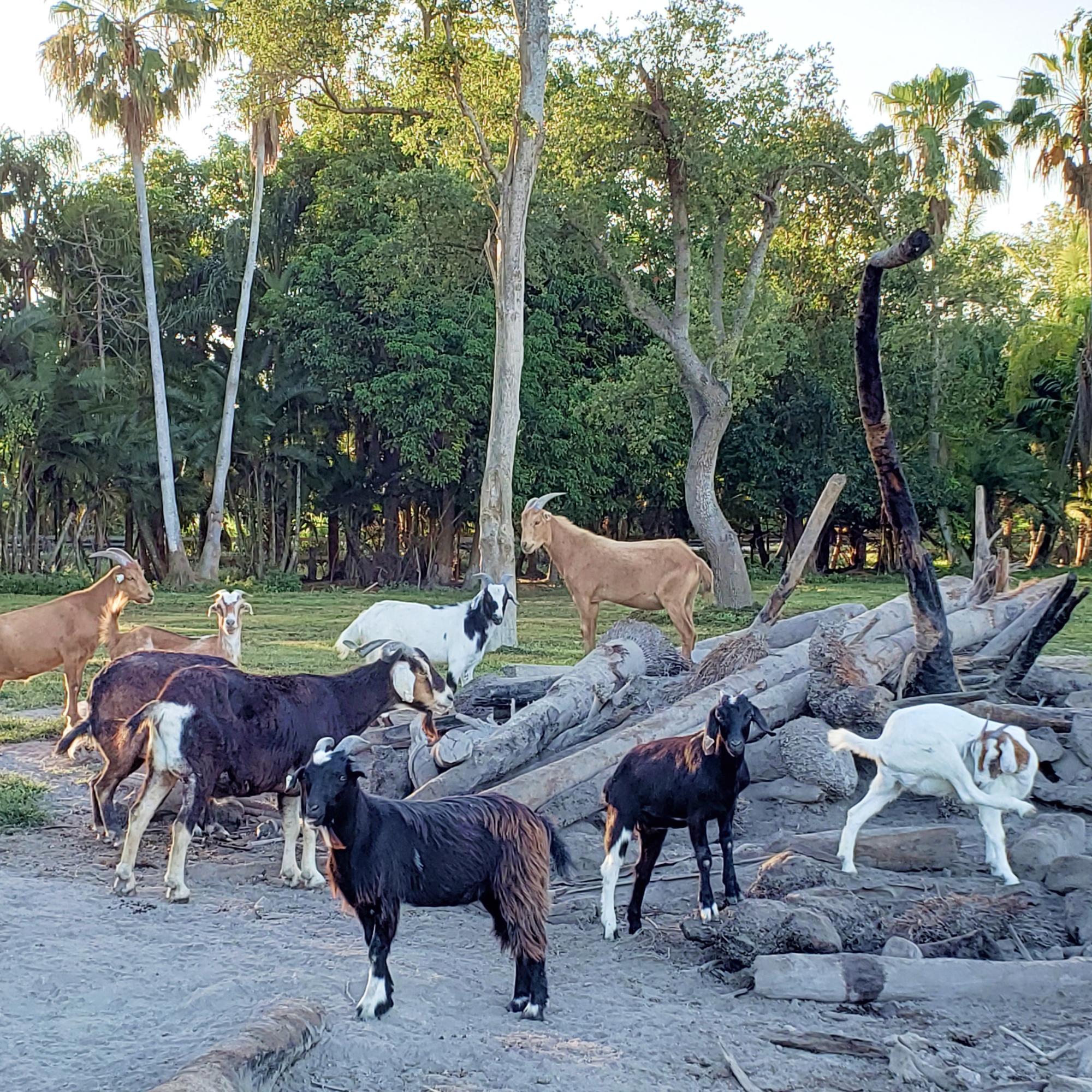 SPCA Goat Herd