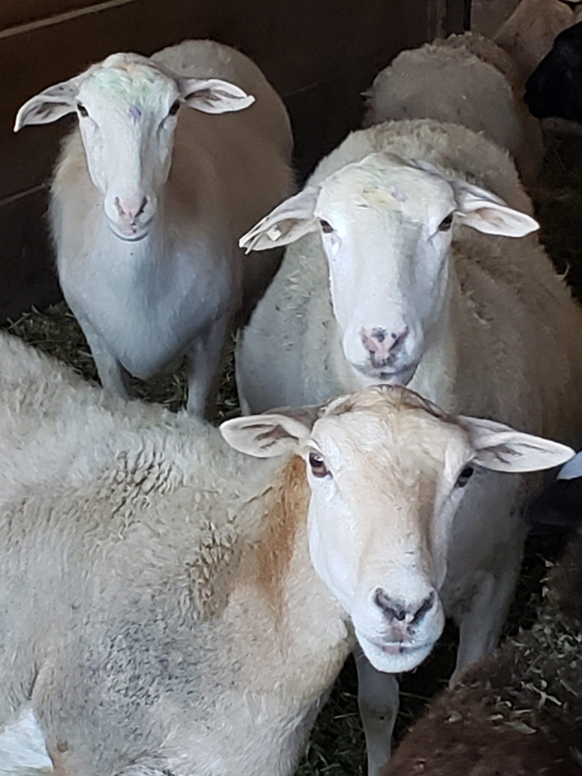 Three Hair Sheep