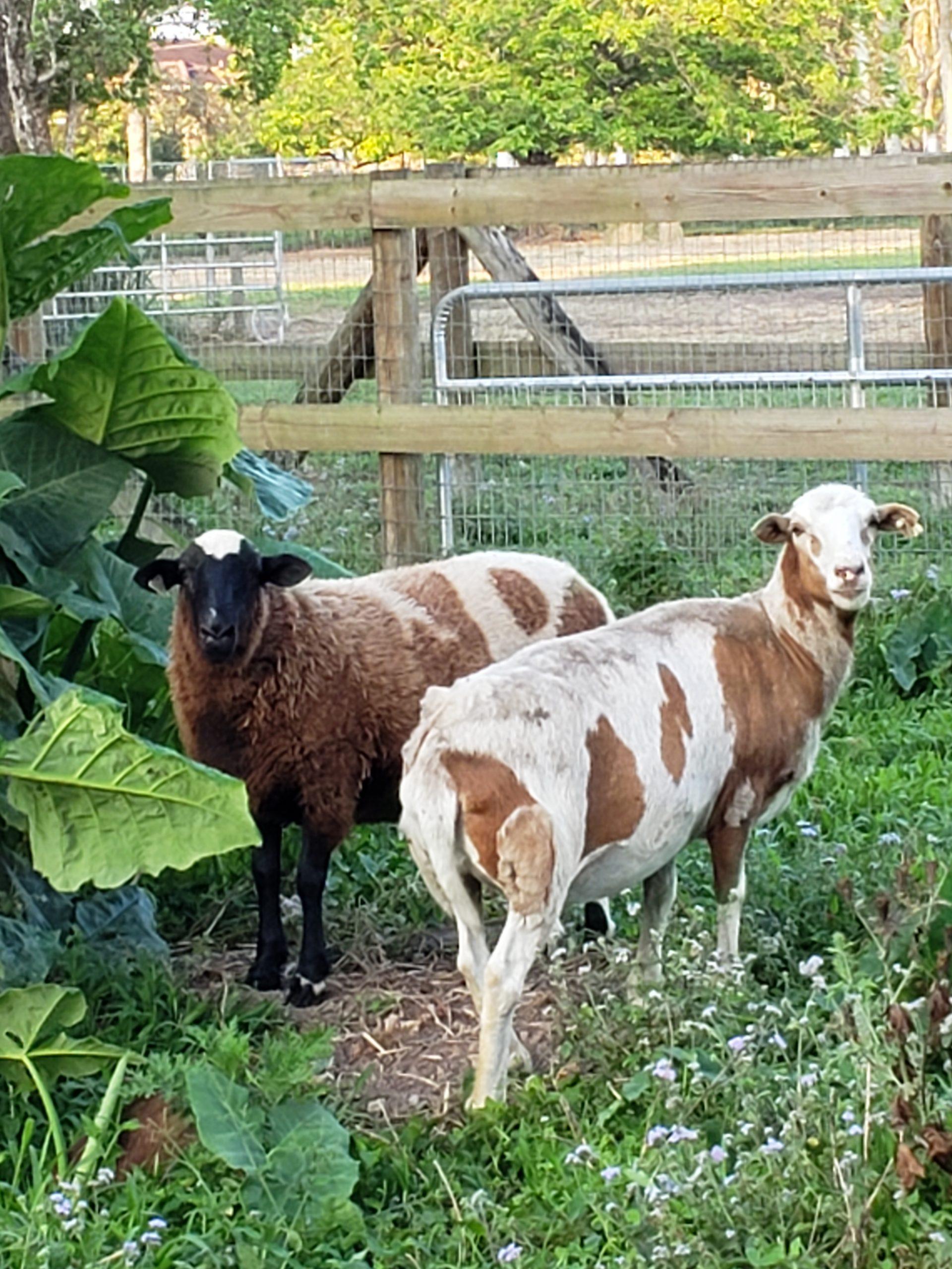 Sheep mixes