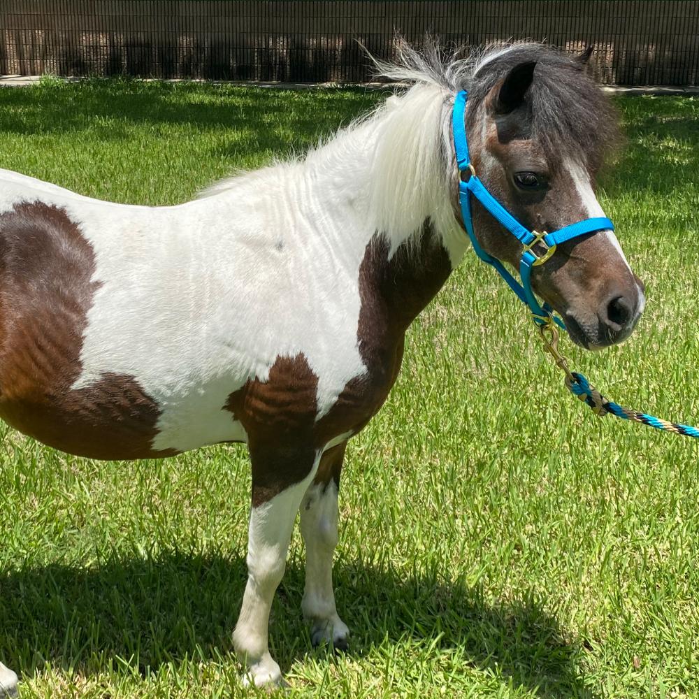 Pocahontas Shetland Pony